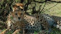 Cheetahs rest in the shade at the Masai Mara Game Park |  <i>Sue Badyari</i>