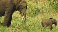 A baby elephant and mother in Tanzania |  <i>Sue Badyari</i>